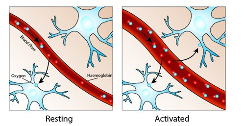 Increasing vascular size due to neural activity and thus increased blood flow in the area of euronal activity