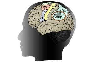 شناسایی مسیر مغزی جدیدی که حرکات دست را کنترل می کند