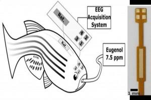 ثبت EEG چند کاناله بر روی مغز ماهی امکان اندازه گیری دقیق امواج مغزی را فراهم می آورد