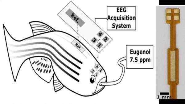 ثبت EEG چند کاناله بر روی مغز ماهی امکان اندازه گیری دقیق امواج مغزی را فراهم می آورد.
